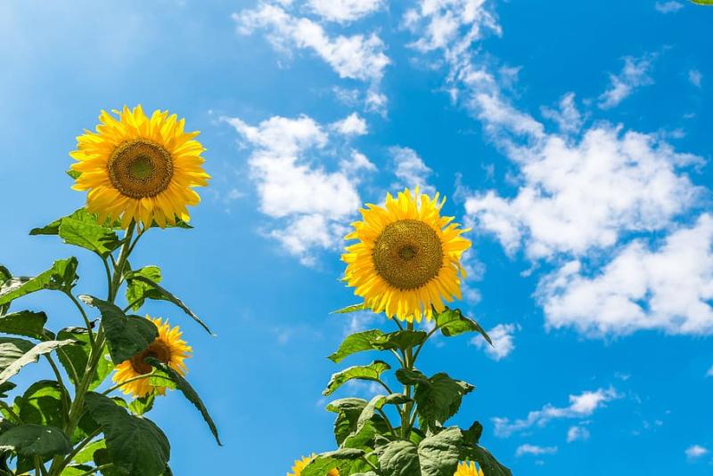 Sunflower-sunny-day-sky-blue-sky